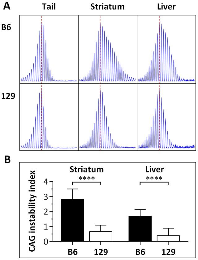Somatic HTT CAG instability differs between B6. Hdh Q111 /+ and 129. Hdh Q111 /+ mice. (A) Representative GeneMapper profiles of HTT CAG repeat size distributions in the tail, striatum and liver of 10-week-old B6. Hdh Q111/+ and 129. Hdh Q111/+ mice, highlighting the altered contribution of B6 and 129 genetic background to somatic HTT CAG repeat expansion, as previously described [17] . Tail and striatum: B6. Hdh Q111/+ , CAG116; 129. Hdh Q111/+ , CAG112. Liver: B6. Hdh Q111/+ , CAG113; 129. Hdh Q111/+ , CAG111 (B) Quantification of CAG instability index reveals a statistically significant decrease in somatic HTT CAG instability in the striatum and liver of 129. Hdh Q111 /+ mice compared to B6. Hdh Q111 /+ mice. B6. Hdh Q111/+ striatum, n = 10, CAG116.9±1.2SD; B6. Hdh Q111/+ liver, n = 10, CAG114.3±1.2SD; 129. Hdh Q111/+ striatum, n = 12, CAG110.9±1.2SD; 129. Hdh Q111/+ liver, n = 9, CAG109.5±1.4SD; Bar graphs represent mean ±SD; ****, p