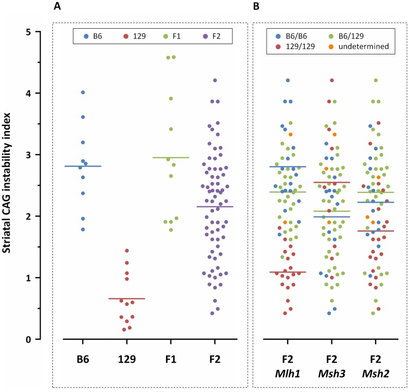 """Striatal HTT CAG instability in 10-week-old Hdh Q111/+ mice on different genetic backgrounds. Graphical representation of striatal CAG instability indices from individual (A) B6, 129, (B6x129).F1 and (B6x129).F2 mice, color-coded based on strain genetic background; and from (B) (B6x129).F2 mice color-coded by genotype at the Mlh1 , Msh3 and Msh2 genes (""""undetermined"""" indicates failed genotype). F2 mice homozygous or heterozygous for B6 Mlh1 alleles display significantly higher levels of striatal somatic CAG instability than F2 mice homozygous for 129 Mlh1 alleles ( p"""