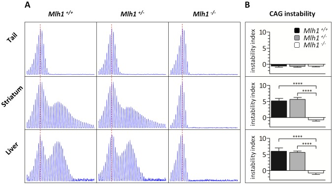 Mlh1 is required for striatal and liver HTT CAG repeat instability in B6. Hdh Q111/+ mice. (A) Representative GeneMapper profiles of HTT CAG repeat size distributions in the tail, striatum and liver of 22-week-old B6. Hdh Q111/+ mice on different Mlh1 genetic backgrounds. Mlh1 +/+ , CAG113; Mlh1 +/− , CAG113; Mlh1 −/− , CAG110. (B) Quantification of striatal and liver HTT CAG instability indices in these mice reveals a statistically significant decrease in HTT CAG instability in the absence of Mlh1 . Mlh1 +/+ , CAG115.3±4.9SD, n = 6; Mlh1 +/− , CAG112.0±2.1SD, n = 6; Mlh1 −/− , CAG109.3±2.6SD, n = 6. Bar graphs represent mean ±SD. ****, p