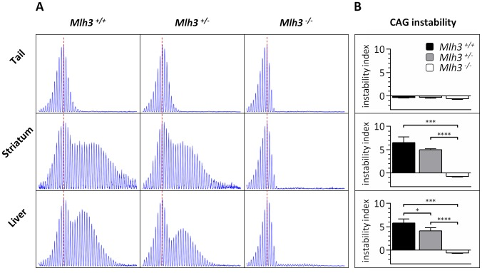 Mlh3 is required for striatal and liver HTT CAG repeat instability in B6. Hdh Q111/+ mice. (A) Representative GeneMapper profiles of HTT CAG repeat size distributions in the tail, striatum and liver of 24-week-old B6. Hdh Q111/+ mice on different Mlh3 genetic backgrounds. Mlh3 +/+ , CAG103; Mlh3 +/− , CAG101; Mlh3 −/− , CAG102. (B) Quantification of striatal and liver HTT CAG instability indices in these animals reveals a statistically significant suppression of HTT CAG instability in the absence of Mlh3 . Mlh3 +/+ , CAG103.3±1.5SD, n = 3; Mlh3 +/− , CAG101.3±0.5SD, n = 4; Mlh3 −/− , CAG101.3±0.6SD, n = 3. Bar graphs represent mean ±SD. *, p