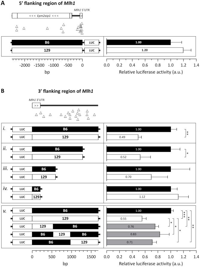 """The 129 and B6 3′-flanking regions of  Mlh1  confer differential mRNA regulation. Investigation of the regulatory potential of B6 and 129 immediate (A) 5′- and (B) 3′-flanking regions of  Mlh1  using dual luciferase reporter assays. (A) The immediate 5′-flanking region of  Mlh1  containing 17 B6-129 polymorphisms (2,441 bp) was used to drive firefly luciferase expression. (B) The immediate 3′-flanking region of  Mlh1  ( i–iv ) containing either 19, 15, 4 or 1 B6-129 polymorphism(s) (1,676 bp, 1,280 bp, 591 bp and 205 bp, respectively) was cloned downstream of a firefly luciferase gene. """"Swap"""" constructs ( v ) of the immediate 3′-flanking region of  Mlh1  containing either 4, 5 or 10 129 polymorphisms (530 bp, 438 bp and 708 bp, respectively; total 1676 bp) were cloned downstream of a firefly luciferase gene. Relative luciferase activity was determined by normalization to internal  Renilla  luminescence and determined relative to the analogous B6 construct. B6-129 polymorphisms are represented by open triangles. Bar graphs represent mean ±SD. *,  p"""