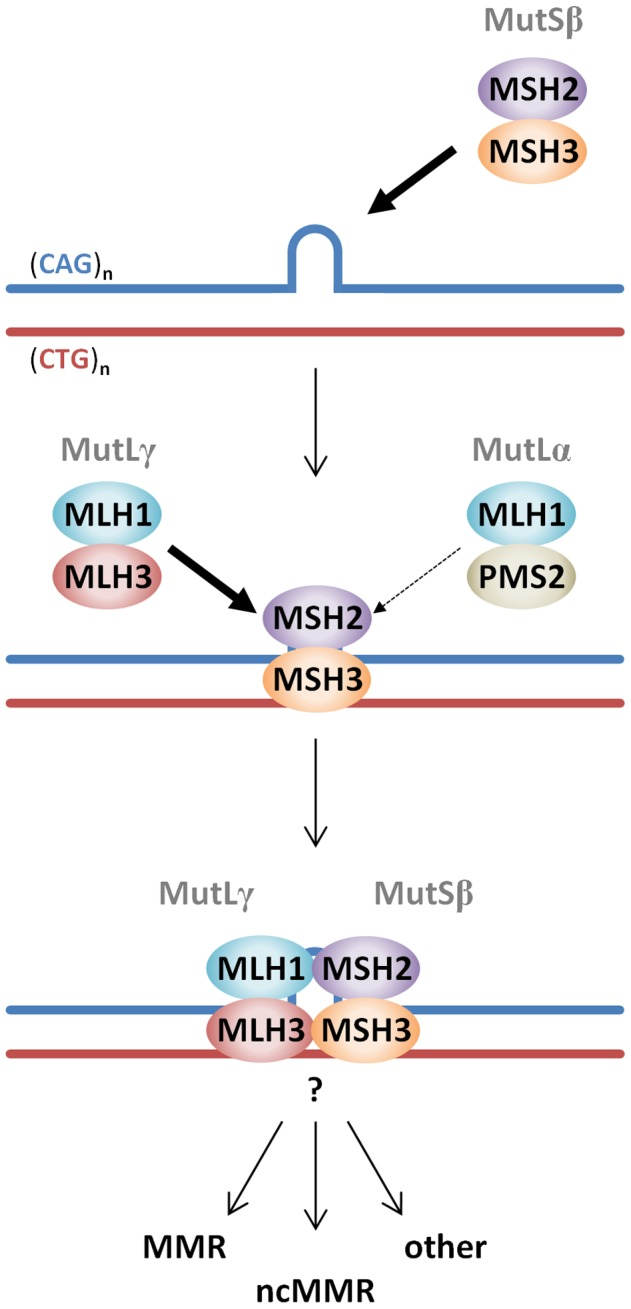 Proposed model of MutS and MutL-dependent events leading to CAG•CTG somatic instability. CAG•CTG repeat structures are initially recognized by the MutSβ (MSH2-MSH3) complex [25] , [98] . The loop in the CAG•CTG repeat tract represents a short slip-out, previously identified as the main substrate for MMR protein-dependent repair of CAG•CTG structures in cell free systems [50] , [51] . However, the nature of the putative CAG•CTG structure(s) that leads to MutS and MutL-dependent somatic instability in vivo is unknown. Following ATP hydrolysis by DNA-bound MutSβ [27] , a MutLγ (MLH1–MLH3) heterodimer is preferentially recruited to the complex (thick arrow) over the MutLα (MLH1-PMS2) heterodimer (thin arrow). The total absence of HTT CAG expansion in Mlh3 −/− mice suggests that PMS2 plays no role at all in this process. However, PMS2 has been shown to play a role in the expansion of CTG repeats in a DM1 mouse model [24] , suggesting that these events may be genetic locus and/or mouse strain dependent. Following MutLγ binding, various pathways, e.g. canonical mismatch repair (MMR), noncanonical mismatch repair (ncMMR) and/or other DNA repair processes may be engaged and process the repeats such that they ultimately undergo expansion. Other members of alternative DNA repair pathways, namely OGG1, XPA and NEIL1 have been directly implicated in CAG/CTG somatic instability in mice [76] – [78] , however, how these proteins intersect with MMR protein-dependent pathways has yet to be demonstrated.