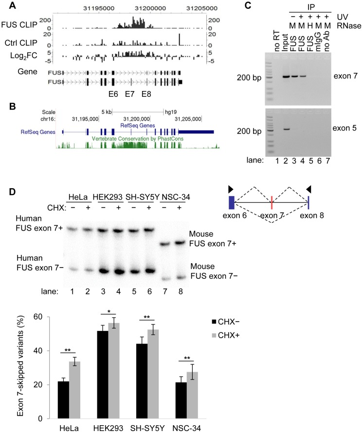 FUS binds to exon 7 and flanking introns of its own pre-mRNA in vivo . A) The enrichment of FUS CLIP tags in exon 7 (E7) and the flanking introns of FUS own pre-mRNA, as determined by a peak finding algorithm CisGenome. B) Cross-species conservation of FUS gene. The conservation track of UCSC genome browser ( http://genome.ucsc.edu/ ) was used to display the PhastCons conservation score of 46 vertebrate species. C) FUS RNA-IP followed by RT-PCR of FUS exon 7. RT-PCR of FUS constitutive exon 5 is a control. Medium RNase concentration (M; 0.1 µg/ml) or high RNase concentration (H; 1 µg/ml) was used to treat cell lysates before immunoprecipitation. D) FUS exon 7-skipped splice variant is subject to nonsense mediated decay (NMD). Cycloheximide (CHX) was used to treat cells for 6 h to inhibit NMD. FUS exon 7 splice variants were detected by [γ- 32 P] ATP labeled PCR. The exon skipping ratio is equal to the intensity of the exon 7-skipped band divided by the intensity sum of both splice variants. Bar graphs represent mean ± SEM (n = 5 or 6). For all the quantification, student's t -tests were performed. * P ≤0.05, ** P ≤0.01.