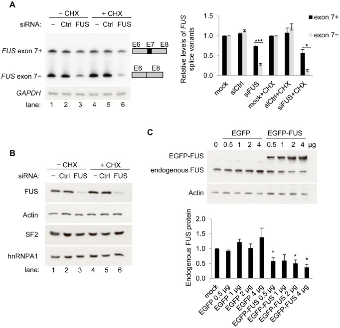 FUS represses exon 7 of the endogenous FUS pre-mRNA and autoregulates its own protein levels. A) FUS represses exon 7 of the endogenous FUS pre-mRNA. [γ- 32 P] ATP labeled RT-PCR products of endogenous FUS exon 7 splicing variants in HEK293 cells, following knockdown of FUS by siRNA (siFUS). Cycloheximide (CHX) was used to inhibit NMD. The reduction of each splice variant (exon 7-included or -skipped) by siRNA relative to the corresponding mock transfection was calculated (lane 2, 3 relative to lane1; lane 5, 6 relative to lane 4). GAPDH was used as a loading control. In each sample, the reduction of the exon 7-included variant was compared with the reduction of the corresponding exon 7-skipped variant using student's t -tests. Bar graphs represent mean ± SEM (n = 3). * P ≤0.05, *** P ≤0.001. B) Western blot analysis of the FUS protein and two other RNA binding proteins SF2 and hnRNPA1. Actin was used for loading control. C) Expression of EGFP-FUS downregulates endogenous FUS protein. Western blot analysis of endogenous FUS protein following expression of EGFP-FUS in HEK293 cells. Both endogenous FUS and EGFP-FUS were detected using anti-FUS antibody (10F7). β-Actin was used for loading control. The endogenous FUS protein levels were quantified. Bar graphs represent mean ± SEM (n = 3). Student's t -tests were performed. Samples transfected with EGFP or EGFP-FUS were compared with the control (mock transfection). * P ≤0.05.