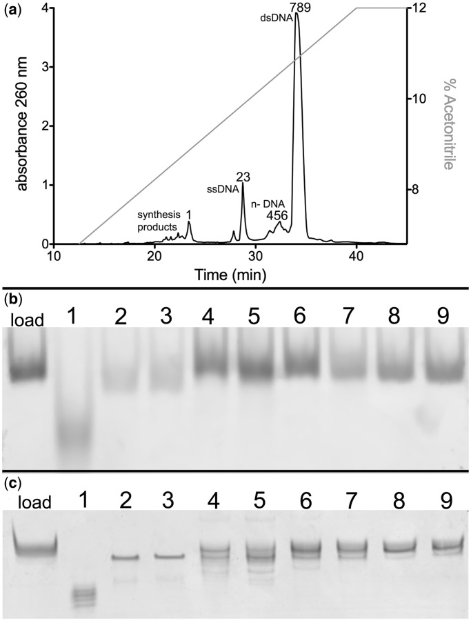 Purification of non-palindromic dsDNA. ( a ) DNA elution profile of 0.5 mg of 28-bp DNA corresponding to the human mitochondrial LSP sequence (LSP 28mer) from a Waters X-Bridge <t>OST</t> <t>C18</t> column. DNA absorbance was monitored at 260 nm (black trace, left Y -axis), as DNA was eluted from the column using an acetonitrile gradient (gray trace, right Y -axis). Numbers correspond to fractions collected for purity analysis. Numbers correspond as follows: 1, phosphoramodite DNA synthesis material; 2–3, ssDNA 28 mer LSP DNA; 4–6, ds n–LSP DNA products; and 7–9, full length 28 mer LSP DNA. ( b ) Eight percent polyacrylamide native gel analysis and ( c ) 16% polyacrylamide 7 M urea denaturing gel analysis of fractions collected in (a) as indicated by numbers.