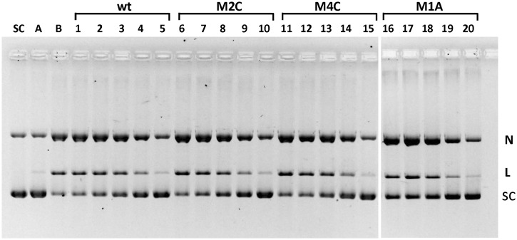Mutant E-sites bind and inhibit topo IV. Supercoiled pBR322 DNA (400 ng) was incubated with topo IV and 0.17 µM gemifloxacin in the absence (lane B) or presence of 34-mer DNA duplexes comprising the E-site sequence (wt) or mutant sites M2C, M4C or M1A bearing −2C/+6G, −4C/+8G and −1A/+5T alterations, respectively (lanes 1–20). For each set of lanes 1–5, 6–10, 11–15 and 16–20, the concentrations of 34-mer were 1.5, 3, 6, 12 and 30 µM, respectively. Cleavage conditions were as described in Figure 3 . After SDS and proteinase K treatment, plasmid DNA products were separated and displayed by gel electrophoresis in 1% agarose. Lane SC, supercoiled pBR322 substrate; lane A, as lane B but omitting gemifloxacin. N, L and SC denote nicked, linear and supercoiled plasmid bands.