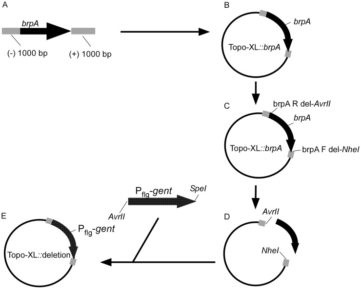 Constructing a deletion vector for brpA. brpA was amplified including 1,000 nucleotides up and down stream of the gene (A) and cloned into the TopoXL vector, constructing Topo-XL:: brpA (B). brpA was removed from the vector by PCR amplification adding AvrII and NheI restriction sites (C and D) and the amplicon was double digested. The B. turicatae flgB P -gent was amplified adding AvrII and SpeI restriction sites, double digested, and the knockout vector constructed by ligation (E).