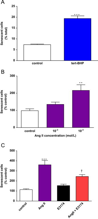 Tert-BHP and Ang II induce SIPS in hVSMC. A, Successive tert-BHP exposures induce SIPS in hVSMC. Sub-confluent cells were submitted to 3 stresses of 4×10 −5 mol/L tert-BHP for 2 h, over 3 days. Senescence was determined by SA-β-gal activity on the third day after the final recovery period. Bars represent mean+SD; n =6 ( *** p