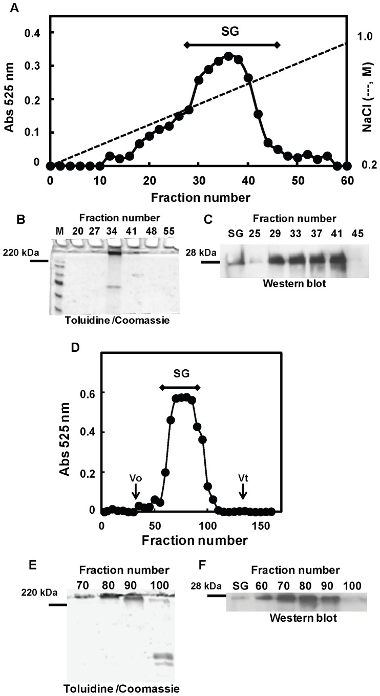 """Fractionation of PGs secreted from the MDA-MB-231 breast cancer cell line by anion-exchange and gel permeation chromatographies. One liter of conditioned medium was fractionated on a DEAE-Sephacel column (40 ml bed volume). The column was eluted stepwise with 3 volumes of the formamide buffer described under """"Experimental Procedures"""" containing 0.2 M NaCl and 10 volumes of a NaCl linear gradient ranging from 0.2 to 1.0 M NaCl. Fractions of 6.7 ml were collected, and aliquots were precipitated by the addition of ethanol in the presence of potassium acetate. Precipitates were dissolved in distilled water, analyzed for their GAG content by the DMMB method (A), and subjected to SDS-PAGE analysis using a 4% stacking - 10% separating gel (B). Gels were stained with toluidine blue, followed by staining with coomassie blue. Serglycin was detected throughout the dissolved aliquots by Western blotting analysis after chondroitinase ABC digestion using a polyclonal antibody against serglycin (C) (SG, standard of serglycin used as positive control). A major PG peak was eluted from 0.50 to 0.7 M NaCl and pooled as indicated by the bar. Pooled serglycin was further fractionated by gel permeation chromatography (D). The pooled fractions were chromatographed on a Sepharose CL-4B column. The column was eluted with 4 M guanidine hydrochloride, 50 mM sodium acetate buffer, pH 5.8. Fractions were collected, and PGs were monitored by the DMMB method (D), were subjected to SDS-PAGE following toluidine blue and coomassie staining (E), and were analyzed by Western blotting after chondroitinase ABC digestion (F) (SG, standard of serglycin used as positive control)."""