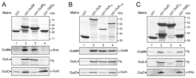 Dissection of the interacting regions of OutC, OutL and OutM in pull-down assays. The GST-fused derivatives of OutM ( A ), OutL ( B ) or OutC ( C ) (indicated at the top) were immobilized on Glutathione Sepharose beads, to constitute the affinity matrices (upper panels). Next, the indicated proteins of interest were incubated with these matrices for 1 h and unbound proteins were washed away. Bound proteins were eluted with Laemmli sample buffer, separated by SDS-PAGE and either stained (upper panels), or (lower panels) probed with the indicated antibodies, or revealed by autoradiography ( 35 S). GST-fused degradation products are indicated by asterisks. Schematic representation of the used derivatives is shown in Figure S1 .
