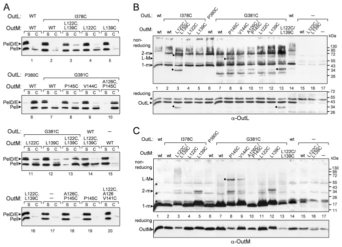 Functionality and disulfide-bonding patterns of the co-expressed cysteine variants of OutL and OutM. ( A ), secretion activity of OutL/M variants. ( B and C ), disulfide-bonding analysis of OutL/M variants. D. dadantii A4229 wt cells, carrying a pTdB-oLoM plasmid co-expressing mutant outL and outM alleles (indicated on top), were grown, treated and analyzed with either PelD and PelI antibodies ( A ), or with GST-OutL antibodies ( B ), or with OutM antibodies ( C ), as in Figure 4 . The positions of OutL and OutM monomers (1-m), dimers (2-m) and OutL-M heterodimers (L-M) are indicated by arrowheads. Non-specific specie interacting with OutM-antibodies are shown by asterisks and OutL-degradation products, by dots. The amounts of formed dimers reflect the proximity of the respective residues from adjacent protomers.