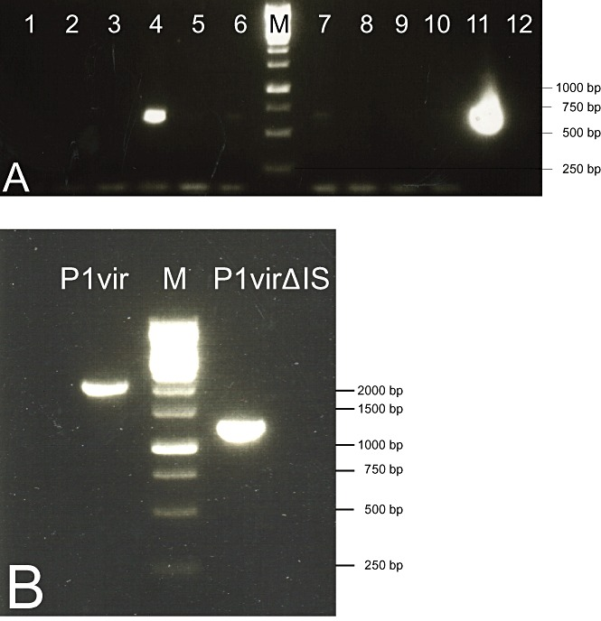 A. <t>PCR</t> screening, using primers P1D and P1test, of plaques obtained upon phage recombineering. Lanes 4 and 11 contain PCR products that indicate the presence of P1virΔIS within the plaques. B. PCR verification of the shortening of the IS‐deleted region in a pure P1virΔIS lysate using primers P1D and P1 BP. M: 1 kb DNA ladder (Fermentas).