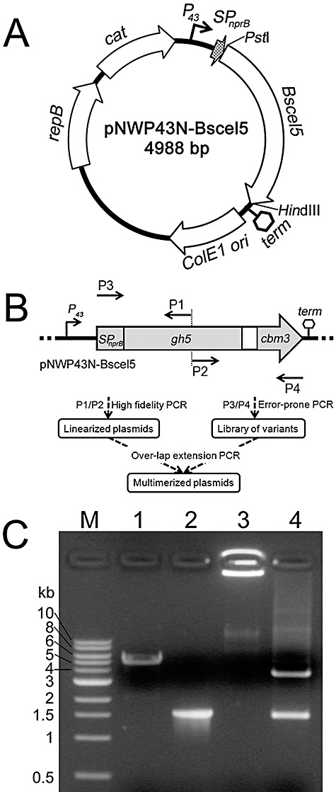 PCR‐based gene mutagenesis and plasmid multimerization. A. Relevant features of the vector pNWP43N‐Bscel5. P 43 , SP nprB , Bscel5 and term represent the P 43 promoter, the NprB signal peptide‐encoding sequence, gene of family 5 endoglucanse and terminator of Bscel5 from B. subtilis respectively. ColE1 ori , repB and cat represent the sequences coding for the ColE1 replication origin, replicase and chloramphenicol resistance marker respectively. The arrows show the transcription directions for these genes. B. The flow scheme of the two‐step PCR procedure for the gene mutagenesis and plasmid multimerization. gh5 , family 5 glycoside hydrolase‐encoding sequence; cbm3 , family 3 carbohydrate‐binding module‐encoding sequence. P1, P2, P3 and P4 denote the positions of the primers for the PCR amplification. This figure was not drawn to scale. C. Plasmid multimerization by PCR. Lanes: M, DNA markers; 1, PCR‐linearized pNWP43N‐Bscel5; 2, error‐prone PCR product of SPnprB‐Bscel5 ; 3, multimerized plasmid; 4, multimer digested with PstI/HindIII.