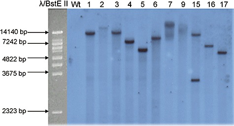 Southern blot analysis of L. bicolor transgenic and wild‐type strains. Total <t>DNA</t> (7 µg) was digested with <t>BamHI</t> which cuts once within the T‐DNA, blotted and probed with the ∼1 kb amp gene fragment. From left to right: molecular size marker λ BstE II, L. bicolor wild type (Wt) and transgenic strains.