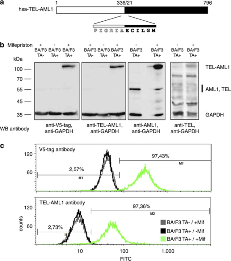 TEL-AML1 antibody design and specificity testing. ( a ) Design strategy for the TEL-AML1 antibody. The immunization peptide spanning the fusion site between the TEL (white) and AML1 (black) fusion partners is indicated. ( b ) Specificity of the TEL-AML1 antibody. Western blots (WB) of the parental BA/F3 cell line (TA−) and stable cell lines carrying the inducible TEL-AML1 fusion construct (TA+) are treated with mifepristone as indicated. TEL-AML1 was specifically detected only in the induced cell lines, whereas the AML and TEL antibodies (right panels) detected both, the fusion protein and the native protein. Please note that the TEL antibody also detects numerous unspecific bands in the whole-cell lysates. ( c ) Detection of TEL-AML1 fusion protein by fluorescence-activated cell sorting (FACS) analysis. Induction with mifepriston resulted in on average 93.5±0.7% ( n =15;±1 s.d.) cells carrying the TEL-AML1 fusion protein in FACS analysis using the TEL-AML1 antibody. A representative example is shown. Tightness of the induction system is shown in comparison to parental BA/F3 cells treated with mifepriston. Abbreviations: FITC, fluorescein isothiocyanate; GAPDH, glyceraldehyde 3-phosphate dehydrogenase.