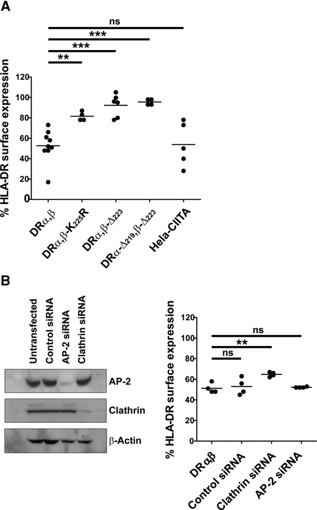MHC-II down-regulation by Salmonella requires clathrin but not invariant chain-directed trafficking. (A) HeLa cells stably expressing HLA-DR WT (DRα,β) and cytoplasmic tail mutants were generated. HLA-DR surface expression was assessed by flow cytometry at 20 h post-infection with invasive GFP- S. Typhimurium and compared with HeLa-CIITA (Ii positive) cells. Refer to Supporting Information Fig. 1 A and B for gating strategy and representative flow cytometry data. Graph shows percent of normal HLA-DR surface expression in uninfected (GFP-negative) cells combined from at least four independent experiments. (B) HeLa cells stably expressing HLA-DR WT (DRα,β)(Ii negative) were transfected with AP-2, clathrin or control siRNAs. Cells were infected with invasive GFP- S. Typhimurium after 5 days of AP-2 or clathrin depletion and surface HLA-DR was assessed as described in (A). Western blot shows AP-2 and clathrin depletion from representative cell lysates after 5 days of siRNA treatment. The loading control is β-actin. Graph shows percent of normal surface HLA-DR expression in uninfected (GFP negative) cells combined from four independent experiments. Comparison of distributions was performed by unpaired (A) or paired (B) two-tailed t -tests.