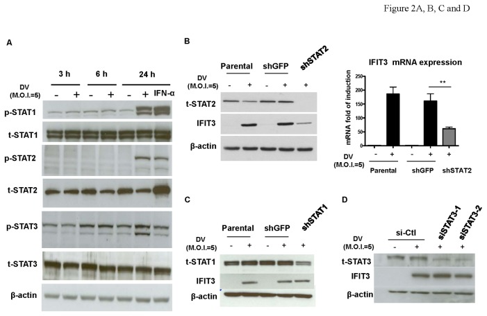 Induction of IFIT3 is STAT-2-dependent. A549 cells were infected by mock or DV for 3, 6, and 24 h and protein levels of both phosphorylated and non-phosphorylated STAT1, STAT2, and STAT3 were analyzed by western blotting (A). Treatment with 1000 units IFN-α was used as a positive control. Expression of IFIT3 in DV-infected A549 cells with knockdown of either STAT2 (B), STAT1 (C) or STAT3 (D) was determined by western blotting (B, C, and D) or quantitative RT/PCR (B). Both shRNA and siRNA were used as the approaches for STAT1/STAT2 and STAT3, respectively, as described in Materials and Methods. Knockdown with shGFP or si-Ctl was used as a negative control. Data show representative results and analysis pooled from at least 3 independent experiments. The analysis was performed by ANOVA as described in Materials and Methods. **P