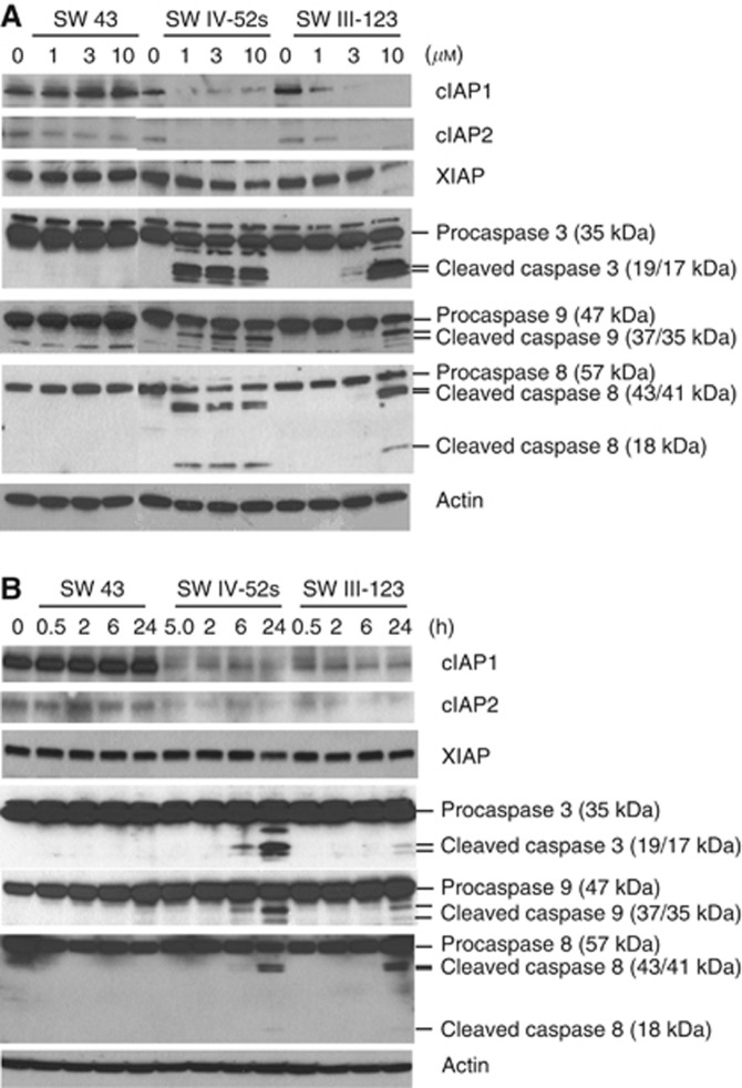SW IV-52s and SW III-123 rapidly degraded cIAP1 and cIAP2 and cleaved pro-caspase-8, -9, and -3. (A) SKOV-3 cells were treated with 0, 1, 3 and 10 μ M SW 43, SW IV-52s or SW III-123 for 24 h. The whole-cell lysates were analysed by western blot. ( B ) SKOV-3 cells were treated with 3 μ M of SW 43 , SW IV-52s or SW III-123 for indicated time. The whole-cell lysates were analysed by western blot.