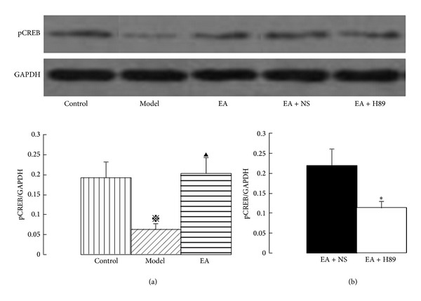 Western blotting showing immunoreactivity of phosphorylated CREB in the hippocampal CA1 area. The pCREB protein values were calculated as a ratio of pCREB protein to GAPDH. EA increased the expression of pCREB protein (a), and the EA-induced activation of pCREB was markedly inhibited by ICV injection of H89 (b). The data are expressed as the mean ± SEM. ANOVA statistical analyses were performed to compare the means among the control, model, and EA groups; ※ P