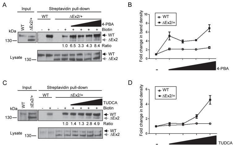 Chemical chaperones partially restore Bmpr2ΔEx2 mutant product expression at the cell surface. A, Cell surface expression of Bmpr2ΔEx2 in Bmpr2 ΔEx2/+ ciPECs treated with 4-PBA. Bmpr2 ΔEx2/+ ciPECs were treated for 48 hours with 100µM, 250µM, 500µM or 1mM of 4-PBA. Monolayers were then labeled with membrane impermeable biotin and biotinylated cell surface proteins pulled-down with streptavidin agarose beads. Western Blot was performed with Clone 18 anti-BMPR2 antibody. The 150 kDa wild type Bmpr2 product was detected in the streptavidin pull-down in control and Bmpr2 ΔEx2/+ ciPECs, but the 130 kDa Bmpr2ΔEx2 mutant product was not detected. After treating with the chemical chaperone 4-PBA, the 130kDa Bmpr2ΔEx2 mutant product was detected and there was increased expression of the wild type Bmpr2 product in the streptavidin pull-down. Numbers shown below the upper panel indicate the ratio of the 130 kDa Bmpr2ΔEx2 band before and after treatment with 4-PBA. Lower panel, expression of wild type Bmpr2 and Bmpr2ΔEx2 in ciPEC cell lysates with 4-PBA treatment. B, Quantification of wild type Bmpr2 and Bmpr2ΔEx2 band densities after 4-PBA treatment relative to untreated controls from three independent experiments, standard error is indicated. C, Cell surface expression of Bmpr2ΔEx2 in Bmpr2 ΔEx2/+ ciPECs treated with TUDCA. Wild type and Bmpr2 ΔEx2/+ ciPECs were treated for 5 hours with 50µM 100µM, 250µM or 500µM of TUDCA. Streptavidin pull-down shows that the 130kDa Bmpr2ΔEx2 mutant product was partially restored at the cell surface and there was a slight increase in wild type Bmpr2 with TUDCA treatment (1.4 fold increase with 500µM TUDCA versus untreated cells). Numbers shown below the upper panel indicate the ratio of the 130 kDa Bmpr2ΔEx2 band before and after treatment with TUDCA Lower panel, expression of wild type Bmpr2 and Bmpr2ΔEx2 in ciPEC cell lysates with TUDCA treatment. D, Quantification of wild type Bmpr2 and Bmpr2ΔEx2 band densities after TUDCA treatment relat
