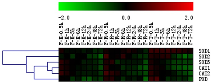 Hierarchical clustering of antioxidant gene expression in the flowers of three grape cultivars following GA 3 treatment. Results of semi-quantitative RT-PCR assays were quantified using GeneTools software, and log-transformed values of the relative expression levels of genes encoding antioxidant enzymes following GA 3 treatment compared to untreated controls were used for hierarchical cluster analysis. The color scale represents relative expression levels with red denoting up-regulation and green denoting down-regulation. Sampling times are indicated at the top of the figure; F represents floral tissue; K represents the 'Kyoho' cultivar; R represents the 'Red Globe' cultivar; T represents the 'Thompson seedless' cultivar.