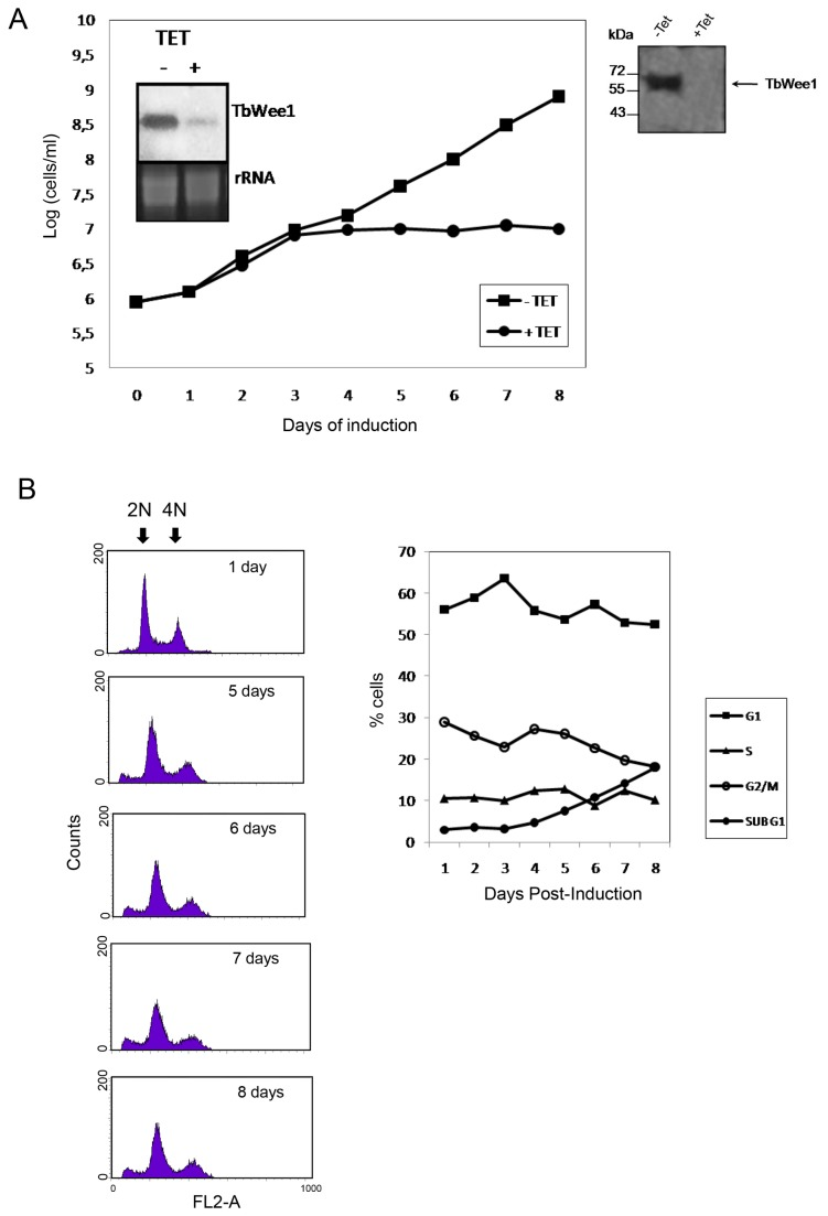 Effects of TbWee1 knockdown on the procyclic form of T. <t>brucei</t> cells. (A) Cells of strain 29-13 harboring the TbWee1-RNAi construct were incubated in culture medium with (+ Tet) or without (-Tet) 2.5 µg/ml tetracycline at 28°C. The cell growth rate was monitored daily, and the cell number was plotted in a logarithmic scale. The insets show the intracellular mRNA level after 3 days of RNAi as monitored by Northern blot. RNAr was used as loading control. Western blot of extracts of induced and non-induced cells were analyzed with anti-TbWee1 antibody (Right inset). (B) Time course of RNAi-induced T. brucei procyclic-form. Cells were stained with propidium iodide and subjected to FACS analysis to measure <t>DNA</t> content. The percentages of cells in G1, S and G2/M phases were determined with the ModFitLT software and plotted on the right panel.