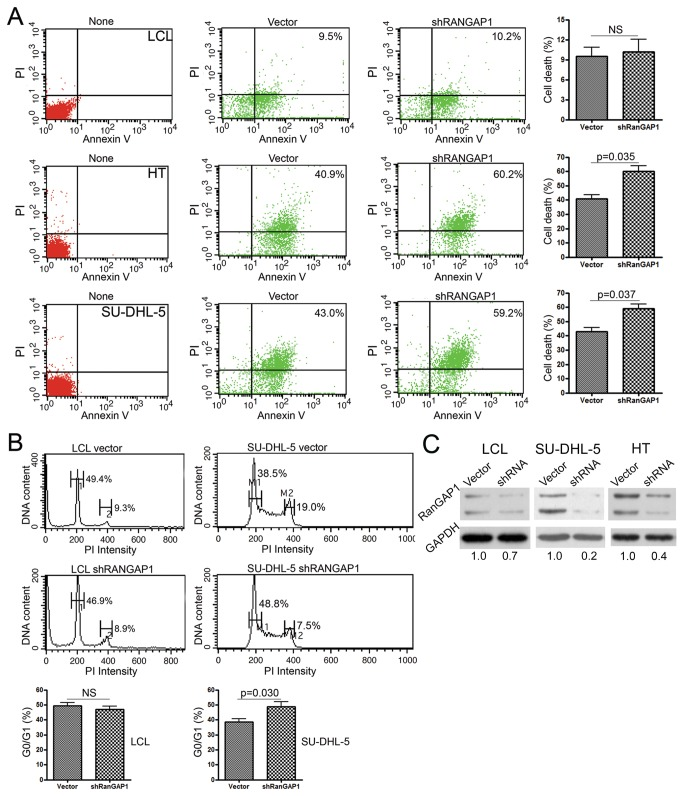 <t>RanGAP1</t> RNA interference increased tumor cell death and cell-cycle arrest but had no effect on non-neoplastic LCL cells. ( A ) After transfection, the effect of inhibiting RanGAP1 was evaluated in the LCL (upper panel), HT (middle panel), and SU-DHL-5 cell lines (lower panel) for cell death, measured using annexin V and PI (propidium iodide). LCL cells show no difference in cell apoptosis between control vector (9.5%) and shRANGAP1 (RANGAP1-specific shRNA) (10.2%; NS, not significant). In contrast, apoptosis was higher in the HT (vector, 40.9% vs. shRANGAP1, 60.2%, p = 0.035) and SU-DHL-5 cell lines (vector, 43.0% vs. shRANGAP1, 59.2%, p = 0.037). None: non-transfected maternal cells. ( B ) Cell-cycle analysis shows no effect on LCL (left panel, 1: G0/G1, vector, 49.4% vs. shRANGAP1, 46.9%; 2: G2/M, vector, 9.3% vs. shRANGAP1, 8.9%; NS, not significant), but it does show G0/G1 cell-cycle arrest in SU-DHL-5 cells (right panel, M1: G0/G1, vector, 38.5% vs. shRANGAP1, 48.8%; M2: G2/M, vector, 19.0% vs. shRANGAP1, 7.5%, p = 0.030). ( C ) Western blotting shows a marked decrease (vector, 1.0 vs. shRANGAP1, 0.2 with <t>GAPDH</t> normalization) of RanGAP1 expression in SU-DHL-5 and HT (vector, 1.0 vs. shRANGAP1, 0.4) after RNA interference of RANGAP1 by shRNA.