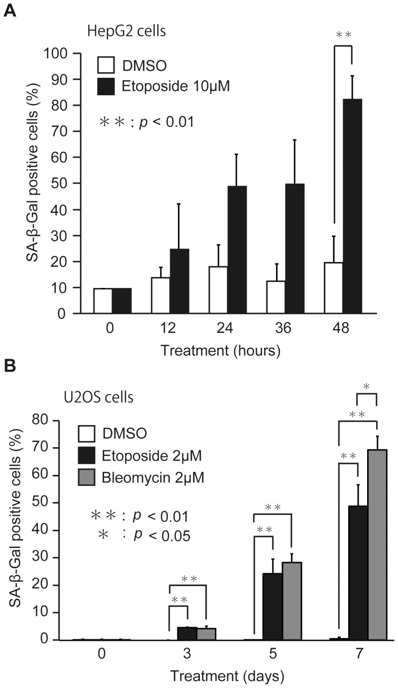 DNA damage-inducing drugs cause premature senescence. (A) HepG2 cells were cultured in RPMI medium with 0.1% DMSO or 10 µM etoposide for 0, 12, 24, 36 and 48 hours. (B) U2OS cells were cultured in RPMI medium with 0.1% DMSO, 2 µM etoposide, or 2 µM bleomycin for 0, 3, 5 and 7 days. For the assay of SA-β-Gal activity, cells stained with blue color were counted as described in Materials and Methods . The data (mean ± S.D.) were obtained from at least three independent experiments. Significant test results ( P values) are shown.