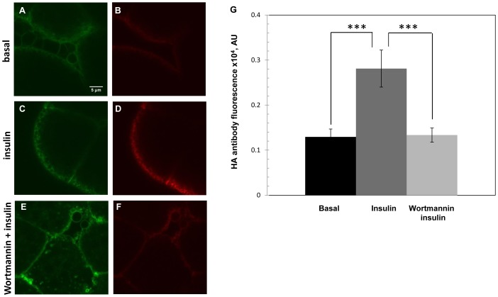 Insulin-stimulated GLUT4 translocation in Drosophila fat body is inhibited by <t>wortmannin.</t> Confocal microscopy of HA-GLUT4-GFP-expression in fat body cells from animals reared on sugar-restricted diets. (A, B) Basal conditions. (C, D) After addition of 0.1 U/ml insulin; or (E, F) After pretreatment with 100 nM/L wortmannin, followed by insulin addition. GLUT4 was visualized in non-permeabilized cells by GFP fluorescence (green, A, C, E) or with anti-HA antibody (red B, D, F) to monitor membrane translocation Scale bar, 5 µm. (G) Surface exposure of HA-GLUT4 upon wortmannin/insulin treatment (G, light gray) or insulin only (G, dark gray). Values are expressed as pixel intensity of HA-GLUT4 in various conditions, as indicated. Fat bodies were collected from five animals each. Anti-HA labeling showed a significant inhibition of the insulin response in wortmannin treated samples (F, G) where fluorescence intensity (AU, arbitrary units) (1335±157; mean±SEM) was comparable to basal samples (1294±175) (B, G).