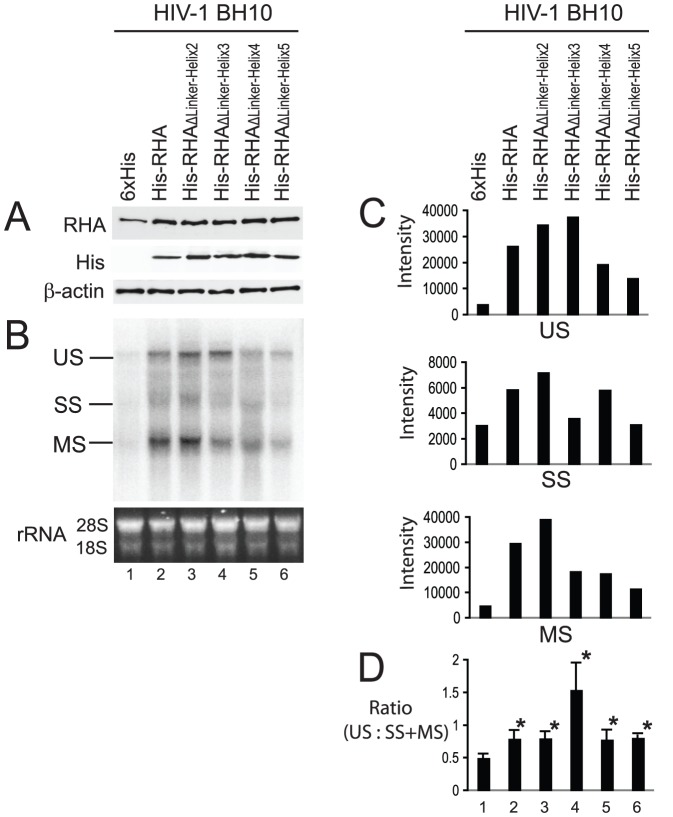 Ability of mutant RHAs to stimulate the synthesis of HIV-1 mRNAs. 293T cells were cotransfected with SVC21.BH10 and either a plasmid expressing His-tagged wild-type or mutant RHA, or only the 6×His tag. 24 hours later, cell lysates and total cellular RNA were prepared and subjected to Western blotting and Northern blotting analysis respectively. (A) Western blots of cell lysates probed with anti-RHA, anti-His, or anti-β-actin. (B) Northern blotting. The total cellular RNA was resolved by electrophoresis on a denaturing 1% agarose gel, and blotted onto GeneScreen Plus membrane. The membrane was probed with the [32P]-labeled DNAs that are complimentary to HIV-1 5'-UTR. Ethidium bromide-stained rRNAs (18S and 28S) are included as an RNA loading control. Unspliced (US) ∼ 9.2 kb, singly spliced (SS) ∼ 4.0 kb, and multiply spliced (MS) ∼ 1.8 kb RNAs are indicated. (C) The intensity of RNA bands in panel B representing US, SS, or MS RNAs was quantitated using a PhosphorImager instrument, and are presented graphically. Shown is a representative of 3 independent experiments. (D) The ratio of US RNA to SS+MS RNA in panel B was determined. Shown are the mean values ± standard deviations of 3 independent experiments. *, P