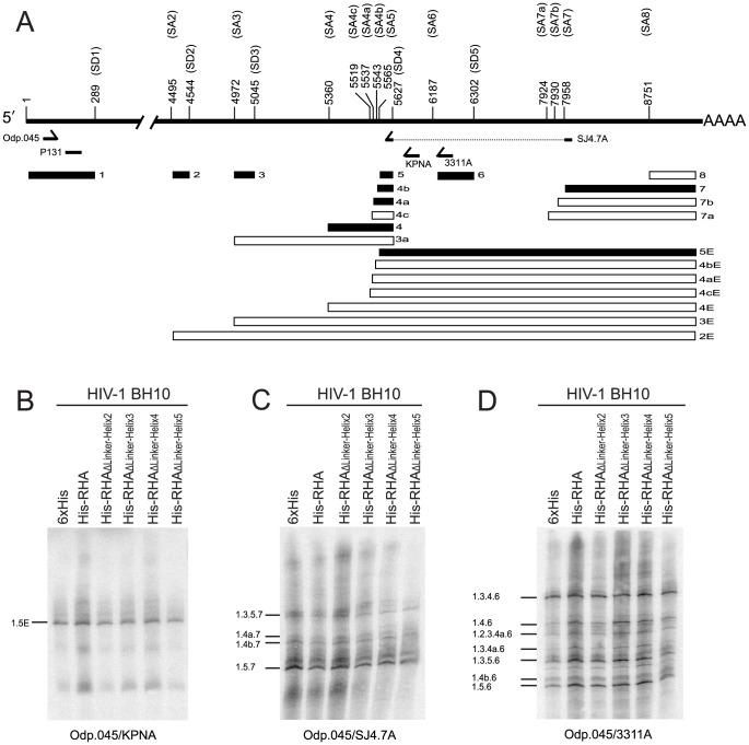 RT-PCR analysis of singly (∼ 4.0 kb) and multiply (∼ 1.8 kb) spliced RNA species. Total cellular RNAs analyzed in Figure 4 were subjected to semiquantitative RT-PCR. 4-16 µl of PCR products were heat-denatured, separated in 6% denaturing polyacrylamide gel, transferred onto <t>GeneScreen</t> Plus membrane, and then probed with [ 32 P]-labeled DNA oligonucleotide P131 that can recognize all HIV-1 RNA transcripts. The radioactive signals were visualized using a PhosphorImager. (A) Diagram showing the organization of major splice donor (SD1-5) and acceptor (SA1-8) sites, and the locations of viral exons and oligonucleotide primers on the HIV-1 genomic RNA. Filled boxes represent the exons detected in this study. The viral nucleotide numbers between 1 and 224 correspond to that of human immunodeficiency virus 1 (GenBank accession no. NC_001802). The viral nucleotide numbers between 225 and 9156 correspond to that between 1 and 8932 of human immunodeficiency virus type 1, isolate BH10 genome (GenBank accession no. M15654 K02008 K02009 K02010). (B) Analysis of ∼ 4.0 kb HIV-1 RNA species using primer pair Odp.045/KPNA. (C) Analysis of ∼ 1.8 kb HIV-1 RNA species using primer pair Odp.045/SJ4.7A. (D) Analysis of exon 6D-containing HIV-1 RNA species using primer pair Odp.045/3311A. Shown is a representative of 3 independent experiments.