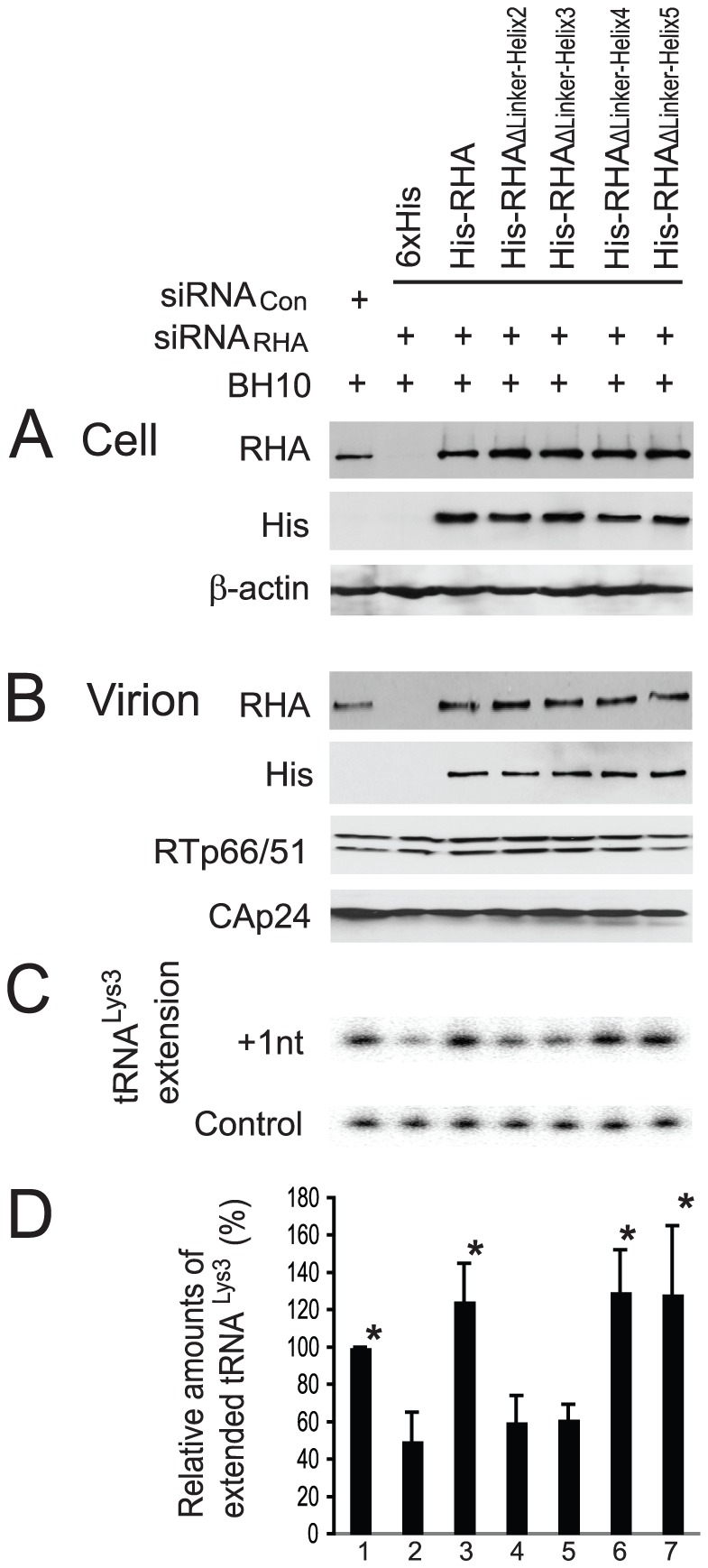 Ability of mutant RHAs to promote the annealing of tRNA Lys3 to viral RNA. 293T cells were first treated with siRNA Con or siRNA RHA , and 16 hours later, were cotransfected with SVC21.BH10 and a plasmid expressing either 6×His tag, or His-tagged wild-type or mutant RHAs. 48 hours later, extracellular viruses were purified and cells were lysed. (A) Western blots of cell lysates probed with antibodies to RHA, His tag, or β-actin. (B) Western blots of viral lysates, containing equal amount of CAp24, probed with antibodies to RHA, His tag, CAp24, or RTp66/p51. (C) One nucleotide extension assay (+1 nt extension). Total viral RNA was isolated from purified HIV-1 particles, and tRNA Lys3 annealed to viral RNA in vivo was extended by 1 nt ([ 32 P]-dCTP), using HIV-1 reverse transcriptase. The extended tRNA Lys3 products are resolved by denaturing 1D PAGE, and visualized using a PhosphorImager. The control gel represents the +1 nt extension of a DNA primer annealed in vitro to viral RNA downstream of the tRNA Lys3 binding site, and is used to show that approximately equal amounts of viral RNA were used in each extension reaction. (D) The values of the +1 nt extended tRNA Lys3 products were quantitated using a PhosphorImager, normalized to the values obtained with virions produced from siRNA Con -treated cells (lane 1), and are presented graphically as a percentage. Shown are the mean values ± standard deviations of 3 independent experiments. *, P