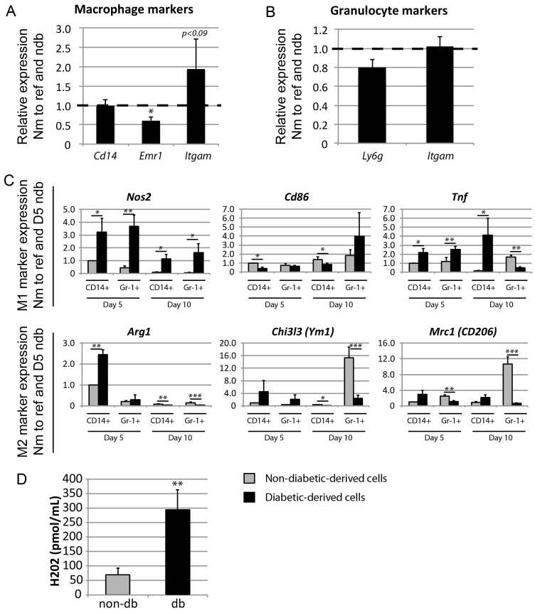 Analysis of differentiation and polarisation in day-5 and day-10 wound-derived myeloid cells. (A,B) qRT-PCR analysis of (A) general macrophage maturation marker expression in wound-derived CD14 + (all) cells, or (B) general granulocyte maturation marker expression in wound-derived Gr-1 + CD14 − cells, pooled from three to six non-db or three to six db samples (three pools each) 5 days post-wounding. Bars indicate gene expression in db-derived CD14 + (all) cells relative to the non-db sample (indicated by dashed line) and reference genes Hist2h2aa1 and Hsp90ab1 . Means and s.e.m. of three biological replicates are shown (* P