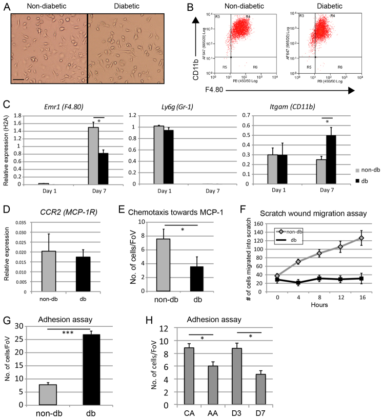 Differentiation and behavioural assays of non-db- and db-derived BM macrophages. (A) Representative bright-field images of nondb- and db-derived BM macrophages after 7 days culture in M-CSF (scale bar: 25 μm). (B) Representative flow cytometry plots of non-dband db-derived BM macrophages after 7 days culture in M-CSF, showing expression of macrophage markers CD11b and F4.80. (C) qRTPCR analysis of myeloid cell markers Emr1 (F4.80, left panel), Ly6g (Gr-1, centre panel) and Itgam (CD11b, right panel) at day 1 and day 7 of culture in M-CSF in non-db (grey bars) and db (black bars) BM macrophages from three independent RNA isolations for each condition. (D) qRT-PCR analysis of CCR2 expression in nondb (grey bar) and db (black bar) BM macrophages after 7 days of culture in M-CSF from three independent RNA isolations for each condition. (E) Chemotactic response to MCP-1 in a transwell assay showing mean number of cells per field of view (FoV) of non-db and db BM macrophages from three independent experiments. (F) Scratch wound migration assay of non-db (grey diamonds) and db (black squares) BM macrophages showing mean number of cells migrated into scratch wound at 4-hour intervals over 16 hours from three independent experiments. (G) Adhesion assay of non-db (grey bar) and db (black bar) BM macrophages showing mean number of cells per field of view adhered onto activated endothelial cells after 4 hours from three independent experiments. (H) Adhesion assays comparing classically activated (CA) and alternatively activated (AA) BM macrophages with wound-derived macrophages at days 3 and 7 following wounding ( n =3 for each condition).
