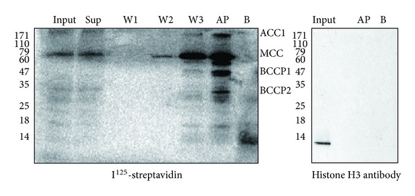 Avidin precipitation assays. The protein samples were analyzed by 15% SDS-PAGE. I 125 -streptavidin (left panel) and histone H3 antibody (right panel) were used in the western blots. Input: total protein extracted from Arabidopsis . B: blank control, where avidin beads were used only with release buffer. Sup: the supernatant after the avidin beads were incubated with Arabidopsis lysate overnight. W1/2/3: the supernatants for the first, second, and third washes separately after the incubation. AP: precipitation of total protein preformed with avidin beads. ACC1: homomeric acetyl-CoA carboxylase. MCC: methylcrotonyl-CoA carboxylase. BCCP1: biotin carboxyl carrier protein1, which is part of the heteromeric acetyl-CoA carboxylase. BCCP2: biotin carboxyl carrier protein2, which is part of the heteromeric acetyl-CoA carboxylase. Experiments were conducted in triplicate.