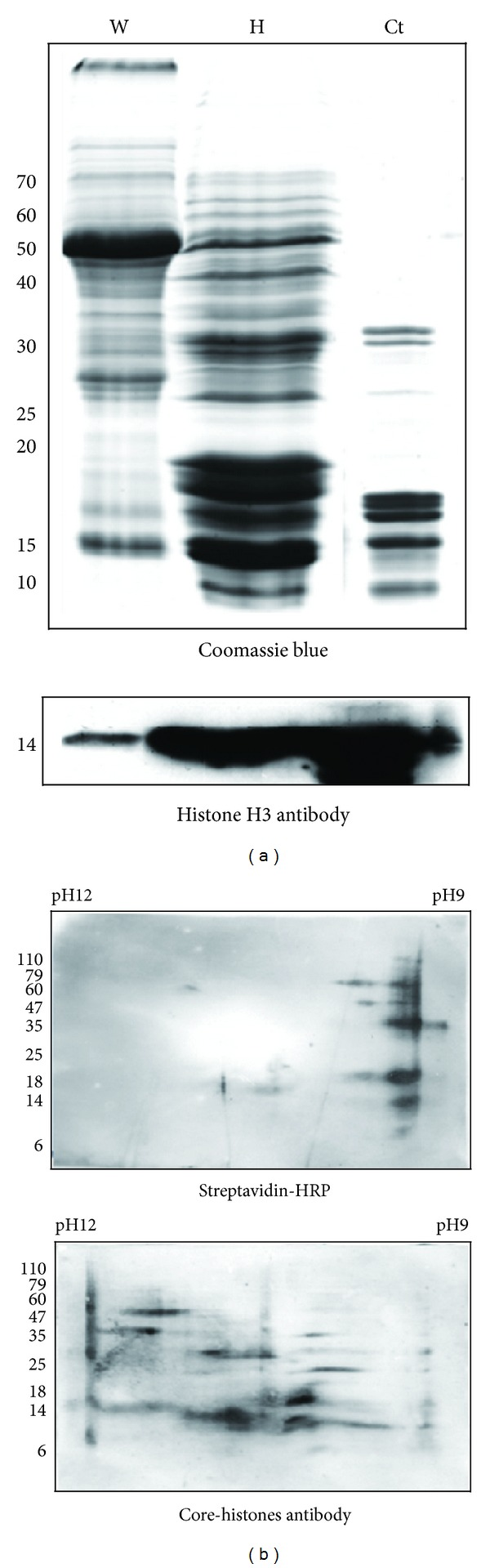 2D gel analysis. (a) Histone proteins were enriched from Arabidopsis young seedling lysate and stained with Coomassie Blue. The same amount of total and histone-enriched proteins was separated by 15% SDS-PAGE and the western blot results showed that histone proteins were enriched from Arabidopsis young seedling lysate. W: the total isolated proteins. H: the histone-enriched proteins. Ct: commercial calf thymus histones (Sigma). (b) The histone-enriched proteins were analyzed by 20% SDS-PAGE with pH gradient from 9 to 12. The biotin signals that concentrate at pH 9 versus the core-histones signals that distribute between pH 10 to 11. Experiments were conducted in triplicate.