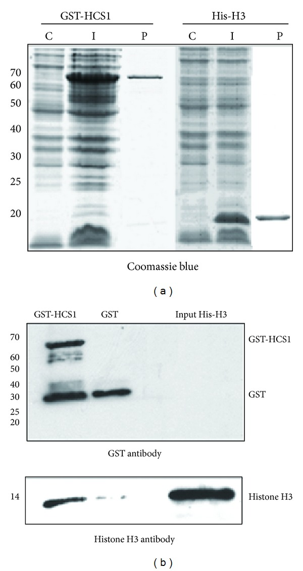 HCS1 interacts with Arabidopsis histone H3 directly in vitro . E. coli lines that contain GST-HCS1, His-H3, or GST construct were induced to express these genes. After induction, total protein was extracted from the cell lines. Recombinant His-histone H3 protein was purified from E. coli by using metal affinity chromatography. Recombinant GST-HCS1 or GST alone was purified from E. coli by using glutathione-sepharose beads. Proteins were subjected to GST pull-down assays with GST-HCS1 or GST alone and probed by western blot to detect whether there was an interaction between HCS1 and histone H3. (a) Proteins were analyzed by 15% SDS-PAGE and stained with Coomassie Blue. I: total proteins extracted from E. coli containing a GST-HCS1 or a His-H3 construct. C: total proteins extracted from control E. coli (not containing any vector). P: recombinant GST-HCS1 or recombinant His-H3 proteins. (b) Western blot of proteins after GST pull-down to detect whether there was an interaction between HCS1 and histone H3. GST-HSC1 fusion protein and GST were detected with GST antibody; Histone H3 was detected with corresponding antibody. GST-HCS1: the proteins released from the beads coupled with GST-HCS1 after being incubated with His-histone H3 proteins; Histone H3 pulled down by GST-HCS1 was detected. GST: the proteins released from the beads coupled with GST control after being incubated with His-histone H3 proteins; no histone H3 was detected. Input His-H3: 10% of the total input recombinant His-histone H3 proteins; Histone H3 was strongly detected as expected. Experiments were conducted in triplicate.