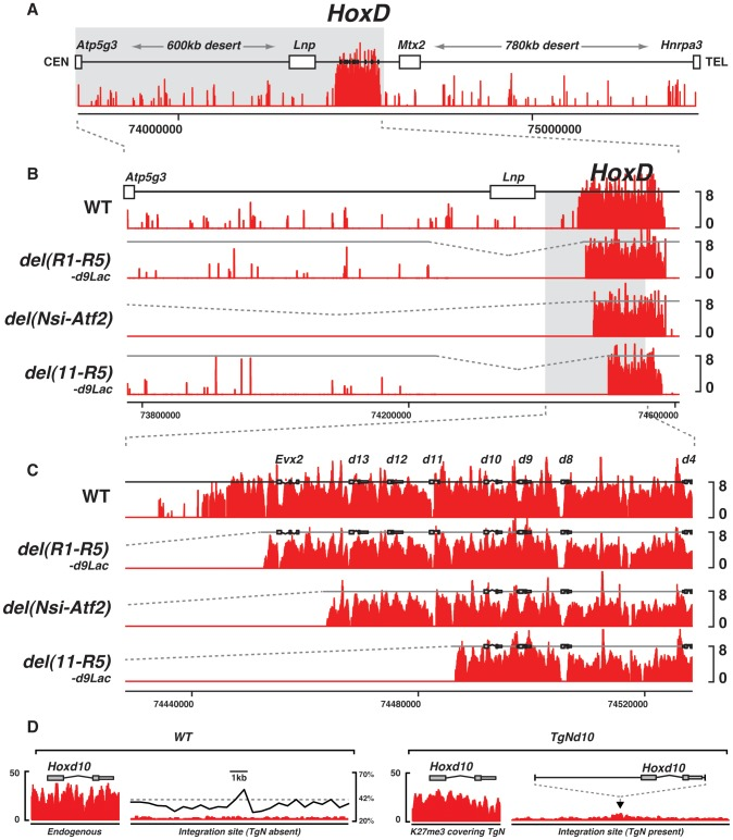 Effect of large deletions upon the H3K27me3 profiles. (A) Wild type genomic landscape of the murine HoxD cluster. The log2 profiles of H3K27me3 enrichment are depicted in red. (B–C) H3K27me3 profiles of either wild type, or animals harboring a deletion of the 5′ border of the H3K27me3 domain. Genotypes are specified on the left. (D) H3K27me3 profiles over the endogenous (left) and transgenic (right) Hoxd10 sequence and over the integration site, in the presence or absence of the transgene. Wild type GC density using a 500 bp sliding window is depicted by the black line (right panel).