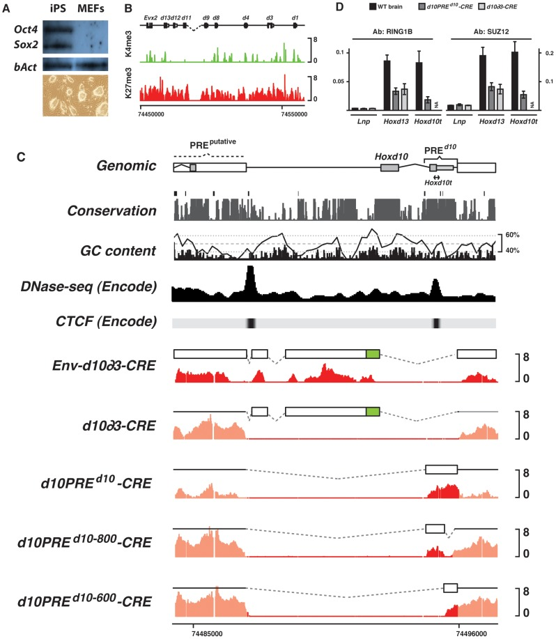 H3K27me3 profiles of transgenic constructs in iPS cells. (A) Western blot for pluripotency markers and morphology of the iPS del(Hoxd10) clone. (B) Chromatin signature of iPS cells with the observed reactivation of bivalent domains over most Hoxd genes. (C) H3K27me3 (red) profiles of various constructs electroporated into iPS cells carrying a deletion of Hoxd10 . The electroporated construct is depicted by the white box above each profile. Env- corresponds to transgenes carrying arms for recombination, homologous to Hoxd11 and the 3′ portion of Hoxd10 , respectively. CRE indicates single copy integrants. Black line in the GC content panel corresponds to a running window of 200 bp. PREd10 overlaps with sites of DNase hypersensitivity and experimentally validated CTCF sites. (D) ChIP-qPCR of PRC1 ( Ring1B ) and PRC2 ( Suz12 ) over various regions of the HoxD cluster. Consistent with the presence of H3K27me3, PRC1/2 binds randomly integrated PREd10 at levels comparable to that found in the endogenous Hox locus ( Hoxd13 ).