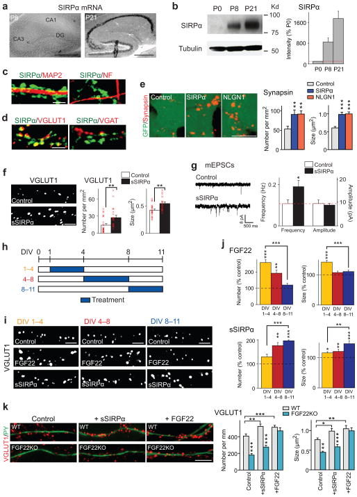 FGF22 and SIRPα promote the early or late stage of glutamatergic presynaptic differentiation (a) In situ hybridization for Sirpα in the hippocampus during synapse formation (positive signals in black). Sirpα mRNA is highly expressed at P21, the time for synapse maturation, but not at P8, the time for initial synapse differentiation. Reproduced three times. (b) Western blotting for the SIRPα protein (tubulin as control) in the hippocampus. The amount of SIRPα significantly increases from P8 to P21. Full-length blots are presented in Supplementary Figure 10 . (c,d) Hippocampal cultures at DIV11 were stained with the antibodies indicated. (c) SIRPα proteins are abundant on MAP2-positive dendrites but not on neurofilament (NF)-positive axons.(d) SIRPα is concentrated at VGLUT1-postive glutamatergic synapses but not at VGAT-positive GABAergic synapses. Reproduced five times. (e) HEK cells expressing SIRPα, neuroligin1 (NLGN1), or control HEK cells (labeled with GFP) were co-cultured with hippocampal neurons for 2 days and stained for synapsin. The synapsin puncta formed on HEK cells expressing SIRPα are significantly more dense and larger than those formed on control HEK cells and are comparable to the ones on HEK cells expressing NLGN1. Data are from 24/23/22 fields from 5 cultures. (f,g) Recombinant soluble SIRPα (sSIRPα) was applied to hippocampal cultures from DIV1–11.(f) sSIRPα treatment significantly increases the number (x 1,000 puncta per mm 2 ) and size of VGLUT1 puncta as compared to PBS control (n = 57 fields from 5 cultures). (g) Representative traces and summary data of whole-cell recordings of mEPSCs from control and sSIRPα-treated hippocampal neurons. mEPSC frequency, but not amplitude, increases by sSIRPα treatment. (n = 57/63 cells from 5 cultures). (h) Schematic timeline of the experiment shown in (i,j). Cultured hippocampal cells were treated with FGF22 or sSIRPα from DIV1–4 (beginning of synapse formation), DIV4–8 (middle of synapse formation), or DIV