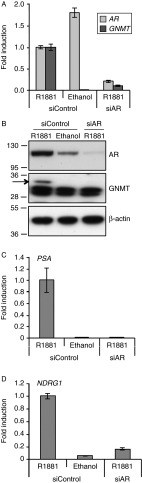 AR knockdown suppresses the androgen-induced GNMT gene. (A) LNCaP cells were cultured in RPMI containing 10% DSS in the absence of antibiotics for 24 h. Cells were then transfected with siRNAs targeting AR or control. Twenty-four hours after transfection, cells were treated with 1 nM R1881 with an equal volume of ethanol being added to the vehicle control. RNA was prepared after a further 48 h and TaqMan RT-PCR for AR and GNMT was performed. Data have been normalised to GAPDH levels and AR or GNMT expression levels in the <t>siRNA</t> control treated with R1881 was set to one. Results are shown as mean values of three independent experiments performed in triplicates with error bars representing s.e.m . (B) LNCaP cells were transfected with siRNAs as for A. Whole cell lysates were prepared and immunoblotted for AR, GNMT (arrowed) and β-actin. Molecular weight markers are expressed in kDa. Suppression of the androgen-regulated genes PSA (C) and NDRG1 (D) following silencing of AR is also shown.