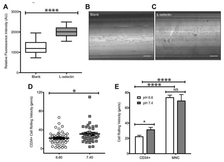 Enhanced adhesion of CD34+ cells to L-selectin at acidic pH. ( A ) Relative fluorescence intensity of L-selectin coated and blank microtubes labeled with APC-anti human L-selectin. ( B – C ) Images of perfused cells interacting with blank or functionalized microtubes, respectively. Scale bars are 100 μm. ( D ) Rolling velocity of CD34+ cells under normal (7.4) and acidic (6.6) pH. CD34+ cells at a concentration of 1 × 10 6 cells/mL were perfused through L-selectin coated (20 μg/mL) microtubes at a shear stress of 2.0 dyn/cm 2 in buffer at specified pH. ( E ) Comparison of rolling velocities of CD34+ cells and MNCs (unpaired t-test, error bars indicate standard error of the mean; * p