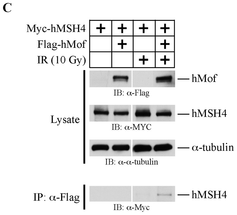 hMSH4 interacts with hMof. ( A ) Recombinant hMof was produced as a glutathione S -transferase-tagged fusion protein and was co-expressed with hMSH4. Soluble cell lysates were used for GST pull-down analysis. Western blot analysis was performed to detect the expression of hMSH4 protein; (B) Negative controls for GST pull-down assay. In the absence of GST-hMof, glutathione-Sepharose 4B beads could not directly pull down hMSH4 even in the presence of GST tag; ( C ) Co-immunoprecipitation analysis of hMSH4 and hMof interaction in human cells. Myc-hMSH4 and Flag-hMof expression in 293T cells was validated by Western blotting. IR treatment was performed 48 h after transfection. The α-Flag antibody was used to perform co-immunoprecipitation analysis, and co-immunoprecipitated hMSH4 was validated by Western blot analysis.