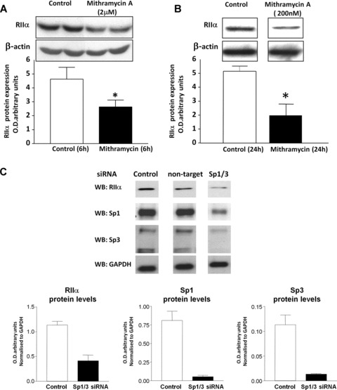 Incubation with Mithramycin A and siRNA knockdown of Sp1 and Sp3 inhibit basal RIIα protein expression in human myometrial cells. (A) Decrease in RIIα protein levels monitored by Western blotting after 6 hrs treatment of human myometrial cells with 2 μM Mithramycin. Data are expressed as mean ± S.E.M. Data were obtained from six myometrial cell preparations. *P, 0.05 Student's t-test (n 5 6) treated versus untreated cells. (B) Mithramycin A at 200 νM also decreased RIIα protein levels as monitored by Western blotting after 24 hrs treatment of human myometrial cells indicating further specificity of the effect. Data are expressed as mean ± S.E.M. * P
