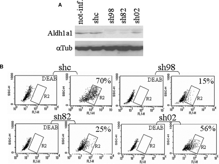 Aldh1a1 contributes to most if not all ALDH activity in human myoblasts. (A, B) Human myoblasts, transduced or not (not-inf.) with lentiviral mediated expression of control shRNA (shc) or Aldh1a1 shRNA (sh98, sh82, sh02) were analysed for Aldh1a1 expression by Western blot (A) and ALDH activity in the presence or not of DEAB by FACS (B).