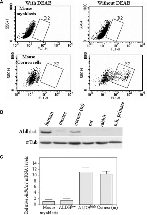 High ALDH activity and Aldh1a1 expression are restricted to human myoblasts. (A) Primary cultures of mouse myoblasts (upper panels) and cornea cells (lower panels) were stained with ALDEFLUOR in the presence (left panels) or not (right panels) of DEAB and analysed by FACS. (B) Protein extracts from human myoblasts (human), mouse myoblasts (mouse), mouse cornea cells (cornea (m)), rat myoblasts (rat), rabbit myoblasts (rabbit) and non-human primate myoblasts (n.h. primate) were analysed for Aldh1a1 expression. Loading control was assessed with α tubulin (αTub) expression. (C) Quantitative reverse transcriptase-polymerase chain reaction analysis (RT-PCR) of relative levels of Aldh1a1 mRNA in mouse myoblasts, fractionated ALDH high and ALDH low human myoblasts and in mouse cornea cells. Expression was normalized against 28s rRNA and the lowest level of Aldh1a1 expression was set at 1. Means were given ±S.E.M.; n = 3.