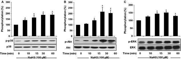 H 2 S-induced phosphorylation of p38 MAPK, Akt and ERK. Endothelial cells (ECs) were treated with NaHS (100 μM) for different times (0–60 min.). At the end of each time-point, cells were collected and proteins lysates were analysed by Western blot, using antibodies specific for the phosphorylated and total forms of ( A ) p38 MAPK, ( B ) Akt, and ( C ) ERK. Data were normalized to total protein level, n = 3–4, * P