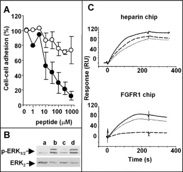 Effect of Ac-ARPCA-NH 2 on the <t>HSPG/FGF2/FGFR1</t> complex and FGFR signaling. (A) HSPG-deficient, FGFR1-transfected CHO cells were added to wild-type CHO-K1 monolayers in serum-free medium with FGF2 (1.66 nM) in the presence of Ac-ARPCA-NH 2 (d) or Ac-ARP S A-NH 2 (○) peptides. After 2 hrs of incubation at 37°C, the cells bound to the monolayer were counted under an inverted microscope. Experiments were performed in triplicate and were repeated twice with similar results. (B) GM7373 cells were treated with vehicle (a), 0.17 nM FGF2 (b), or FGF2 plus Ac-ARPCA-NH 2 (c) or Ac-ARP S A-NH 2 (•) peptides (both at 1.0 μM). After 10 min., cell extracts were analysed by Western blotting using anti-phospho-ERK 1/2 and anti-ERK 2 antibodies. (C) Sensogram overlay showing the binding of FGF2 (150 nM or 50 nM, respectively) to heparin-coated ( upper panel ) or sFGFR1(IIIc)/Fc chimera-coated ( lower panel ) BIAcore sensor chips in the absence ( _____ ) or in the presence of Ac-ARPCA-NH 2 (- - -) or Ac-ARP S A-NH 2 ( …… ) peptides (both at 1.0 μM). The response (in RU) was recorded as a function of time.