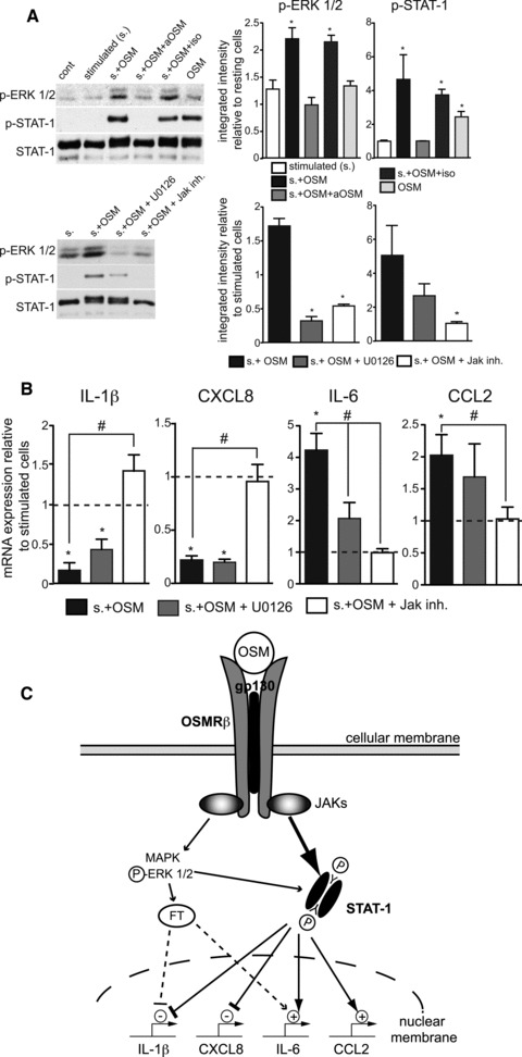 Signalling pathways mediating the OSM-effects on the IL-1β, CXCL8, IL-6 and CCL2 expression in stimulated HSFs. (A) HSFs were stimulated or not with a combination of LPS and GM-CSF for 10 min. in the absence or presence of OSM (10 ng/ml) and its neutralizing antibody (10 μg/ml), as indicated, prior to lysis and subsequent immunoblot analysis using primary antibodies raised against phospho-ERK1/2, phospho-STAT-1 (Tyr 701) and total STAT-1 (as a loading control). Immunoblots shown are representative of three independent experiments; bands were quantified by densitometric analysis and results presented as mean ± S.E.M. When indicated, cells were pre-incubated for 15 min. with the MEK inhibitor U0126 (10 μM) or the Jak inhibitor (0.5 μM) before stimulation in the presence of OSM. * P