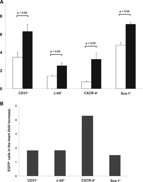 EPO administration after myocardial infarction increased homing of EGFP + BMCs into ischaemic myocardium in GFP-transgenic mice. (A) Bar graph representing the percentage of myocardial EGFP + cell populations (subclassified by CD31, c-kit, <t>CXCR-4,</t> Sca-1) of infarcted control mice (white bar) or EPO-treated mice (black bar). All data represent mean ± S.E.M. ( n = 8). (B) Bar graph representing the fold-increase of EGFP + subpopulations in the hearts of infarcted control mice (white bar) or EPO-treated mice (black bar). The represented value is the ratio of the mean of control mice and the mean of EPO-treated mice.